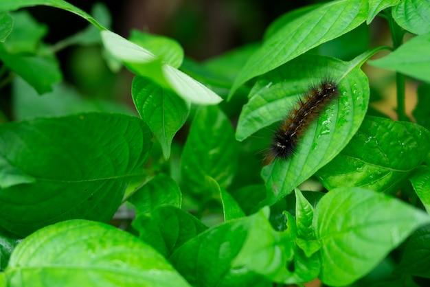 Naturhintergrund des haarigen pelzwurms, der grüne blätter im bauernhof klettert und isst