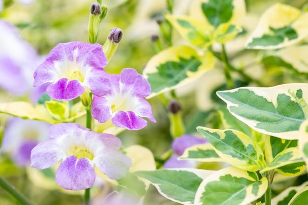 Naturhintergrund, kräuterpflanzen, kriechender fingerhut.