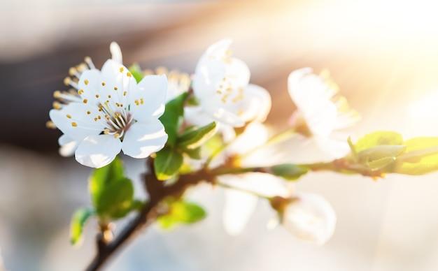 Naturhintergrundkonzept. weiße blumen auf bäumen in den strahlen des sonnenlichts