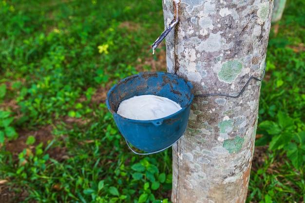 Naturkautschuklatex von gummibäumen
