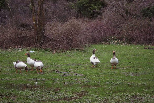 Naturlandschaft bestehend aus enten, die auf dem gras am see kreisen
