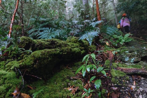 Naturlehrpfad mit moosen bedecken den zerfallenen baumstamm im regenwald