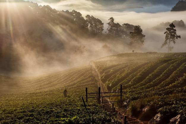 Nebelhafter morgensonnenaufgang im erdbeergarten