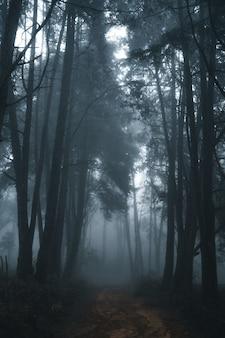 Nebelwald, nebel- und kiefernwald im winter-tropenwald, nebel und kiefer