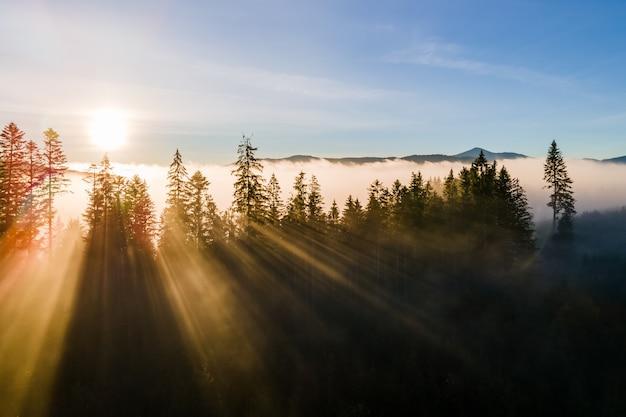 Nebliger grüner kiefernwald mit überdachungen von fichten und sonnenaufgangsstrahlen, die durch zweige in den herbstbergen scheinen