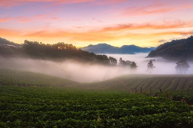 Nebliger morgensonnenaufgang im erdbeergarten, blick auf morgennebel am berg doi angkhang, chiang mai, thailand?