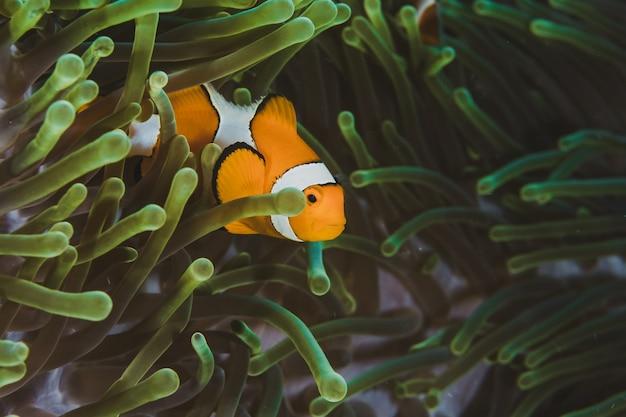 Nemo clown fisch unterwasser in der hellgrünen anemone.