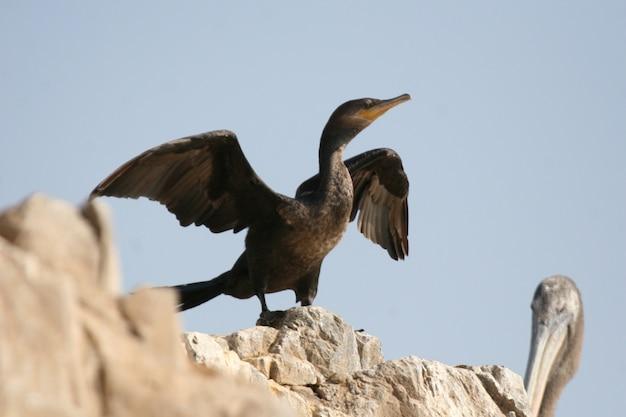 Neotropischer kormoran, der auf felsen sitzt