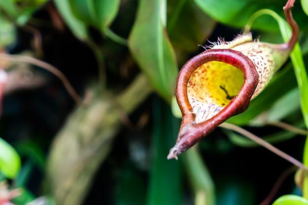 Nepenthes oder fleischfressende pflanzen mit verschwommenen grünen blättern
