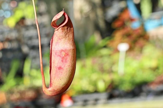Nepenthes oder tropische kannenpflanzen