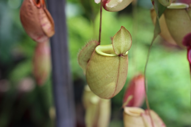 Nepenthesbaum, tropischer pitcher pflanzt wachstum in der natur
