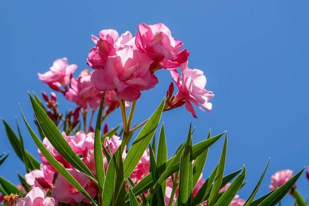 Nerium oleander double pink sorte