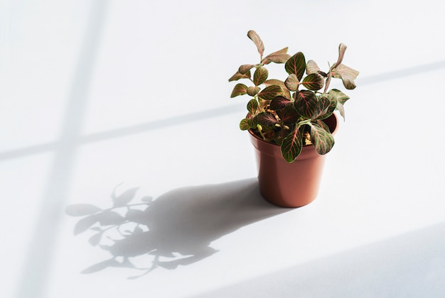Nerv fittonia verschaffeltii auf topf, planthigh key licht von pink fittonia nerven pflanze in braunem topf.