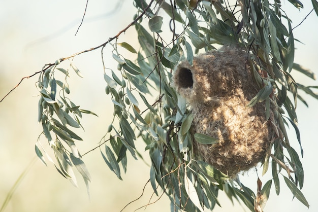 Nest einer pendelmeise, remiz pendulinus