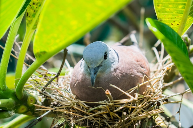 Nest eines vogels in der natur. eine taube brütet ihre eier.
