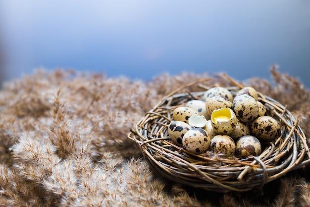 Nest mit eiern von wachteln