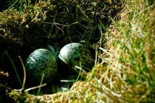 Nest mit eiern