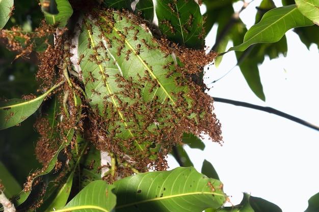Nest rote ameise auf mangobaum