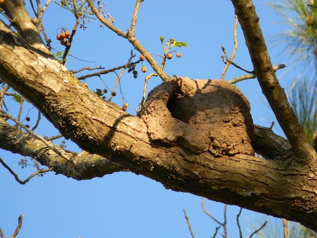 Nest von hornero