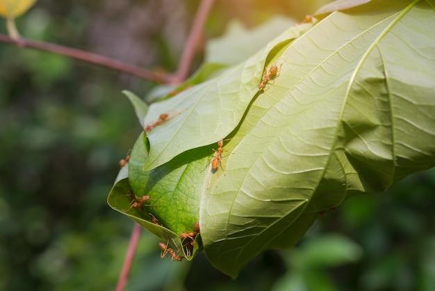 Nestameise auf baum in der natürlichen waldansicht. rote ameisen arbeiten als team, um ihr nest zu errichten.