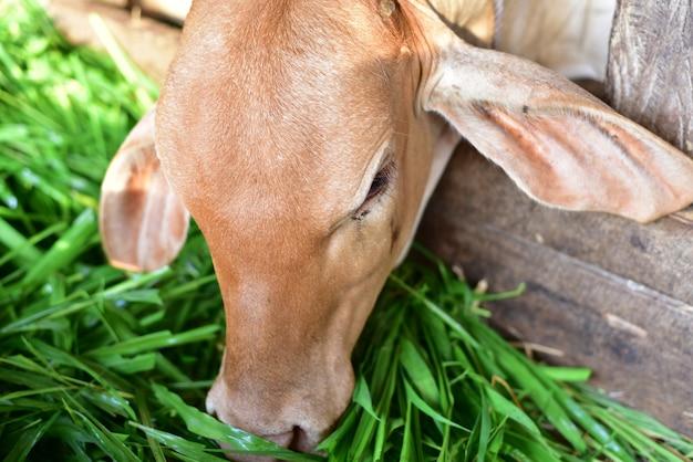 Nette babykuh asiens, die grünes gras im bauernhof isst