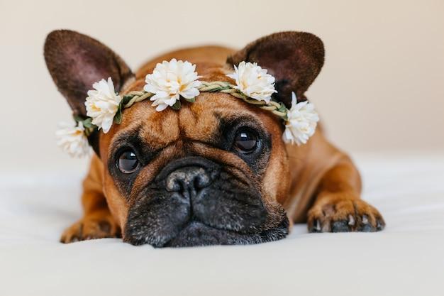 Nette braune französische bulldogge, die zu hause auf bett liegt. trägt einen wunderschönen weißen blumenkranz. haustiere drinnen und lebensstil