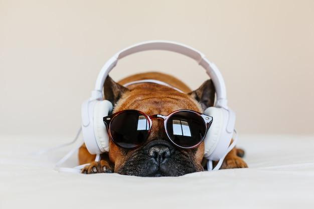 Nette braune französische bulldogge, die zu hause auf dem bett sitzt und. lustiger hund, der musik auf weißem kopfhörer hört. haustiere drinnen und lebensstil. technik und musik