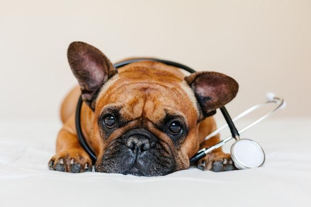 Nette braune französische bulldogge, die zu hause auf dem boden liegt. tragen eines tierärztlichen stethoskops. haustierpflege und tierarztkonzept
