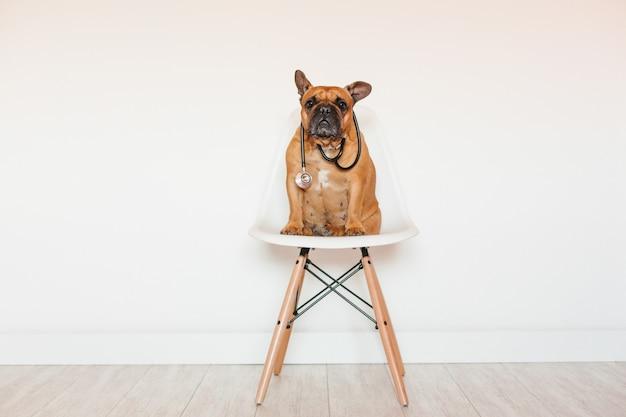 Nette braune französische bulldogge, die zu hause auf einem stuhl sitzt. tragen eines tierärztlichen stethoskops. haustierpflege und tierarztkonzept