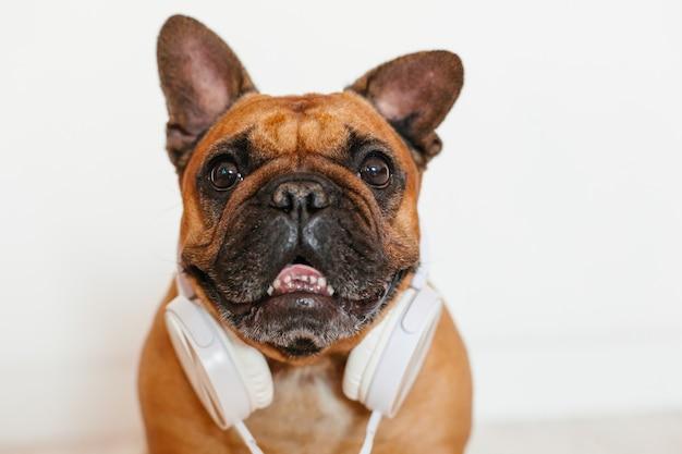 Nette braune französische bulldogge zu hause und. lustiger hund, der musik auf weißem kopfhörer hört. haustiere drinnen und lebensstil. technik und musik