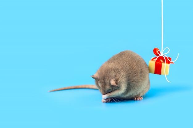 Nette dekorative ratte mit käsegeschenk und rotem bogen auf einem blauen hintergrund