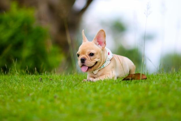 Nette französische bulldogge, die auf grünem feld spielt