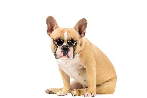 Nette französische bulldogge tragen sonnenbrille und weiße fliege