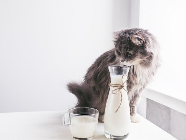 Nette, graue katze, die frische milch trinkt
