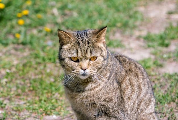 Nette graue katze mit orangefarbenen augen, die warmes sonniges wetter genießen und auf der wiese sitzen