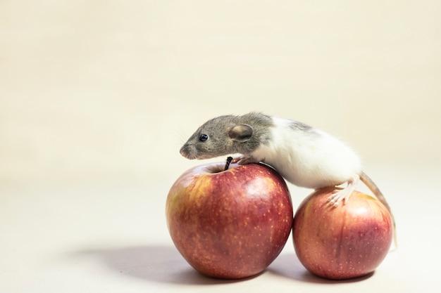 Nette haustierratte, die auf apple lokalisiert auf weiß sitzt