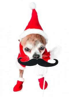 Nette hundechihuahua in weihnachtsmann-kostüm mit dem schwarzen gefälschten schnurrbart auf lokalisiertem weiß.