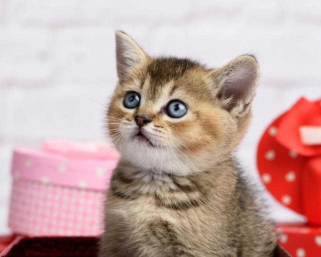 Nette kätzchen schottische goldene chinchilla gerade rasse auf einem weißen hintergrund und kisten mit geschenken, festlicher hintergrund