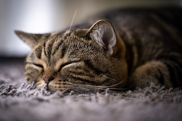 Nette katze glückliches lächeln putzt das schlafen
