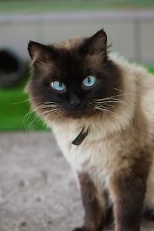 Nette katze mit blauen augen