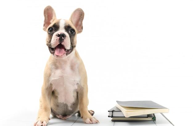 Nette kleine französische bulldogge, die mit buch auf tabelle sitzt