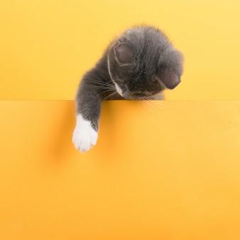 Nette kleine graue katze, auf einem gelb, schaut und spielt. geschäft, copyspace.
