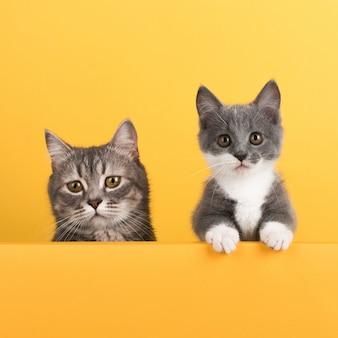 Nette kleine graue katze und kätzchen, auf einem gelb, schaut und spielt. geschäft, copyspace.