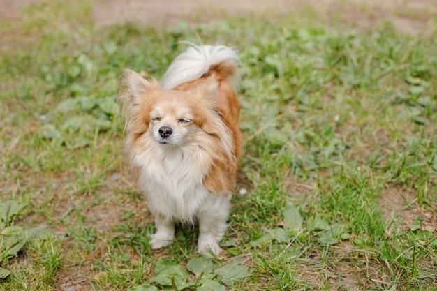 Nette kleine lächelnde hundechihuahua im garten auf dem gras stehen an einem heißen sonnigen sommertag still junger energiehund geht in die wiese. harmonische beziehung zum hund: erziehung und