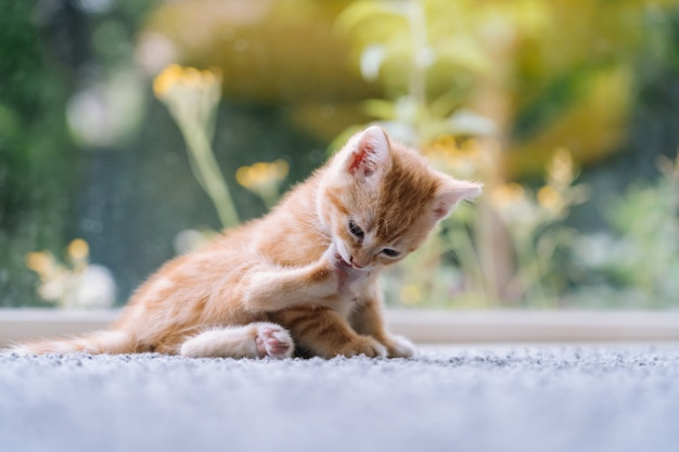 Nette kleine rote katze bleiben auf holzboden mit fenster. junge süße kleine rote katze. langhaariges ingwer-kätzchen spielen zu hause. nette lustige heimtiere. haustiere und junge kätzchen