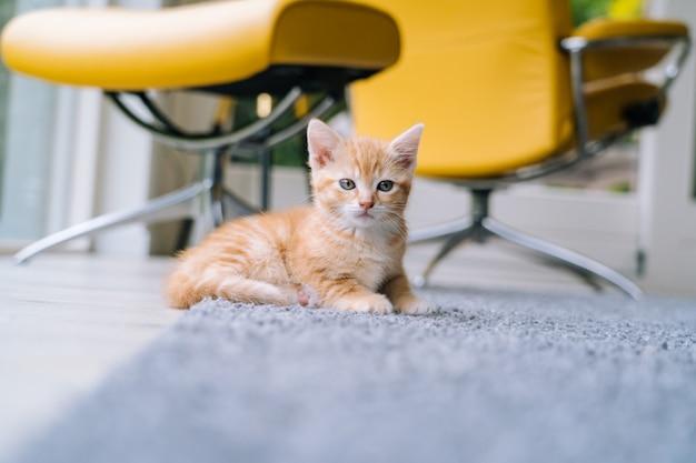 Nette kleine rote katze, die auf gelbem stuhl nahe fenster sitzt. junge süße kleine rote katze. langhaariges ingwer-kätzchen spielen zu hause. nette lustige heimtiere. haustiere und junge kätzchen.