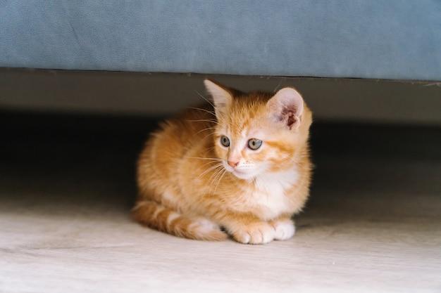Nette kleine rote katzen sitzen unter sofa auf holzboden. junge süße kleine rote katze. langhaariges ingwer-kätzchen spielen zu hause. nette lustige heimtiere. haustiere und junge kätzchen