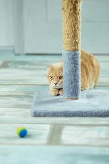 Nette lustige katze, die sich zu hause im zimmer auf einem baum hinlegt und auf den ball schaut