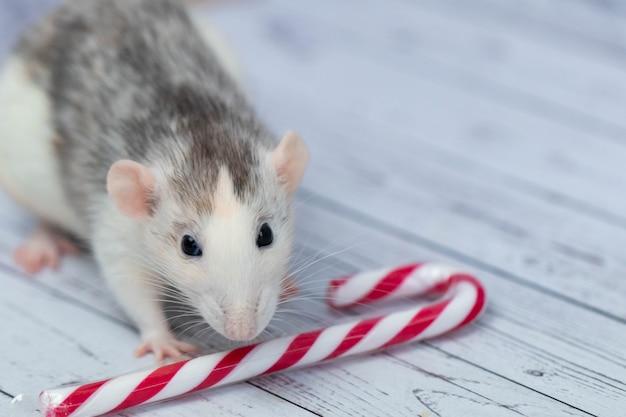 Nette ratte schnüffelt weihnachtszuckerstange. porträt einer nagetier-nahaufnahme.