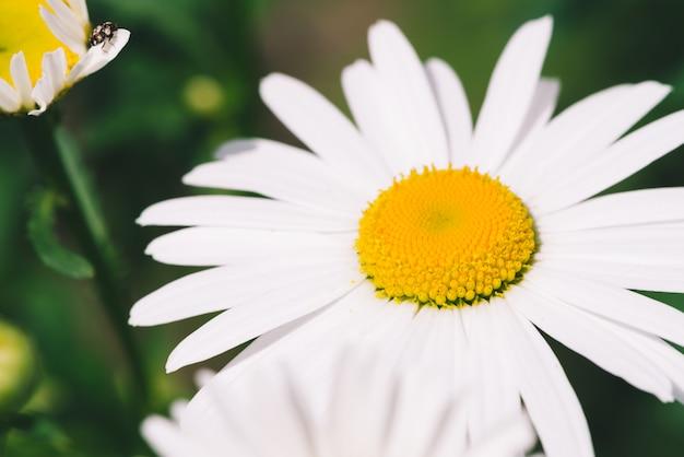 Nette romantische blume des gänseblümchens mit lebendigem gelbem pollen und langen weißen blütenblättern schließen